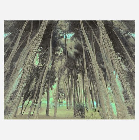 Grove of tall trees /